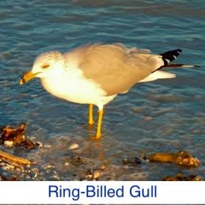 Ring-Billed Gull ID