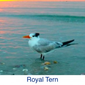 Royal Tern ID