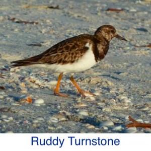 Ruddy Turnstone ID