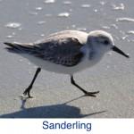 Sanderling ID