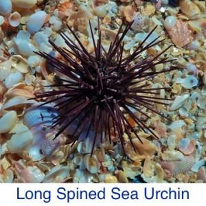 Sea Urchin Long Spined Debris ID