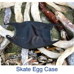 Skate Egg Case ID