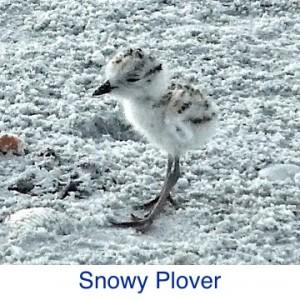 Snowy Plover ID