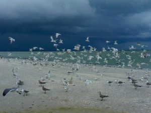 Terns in the black sky Sanibel