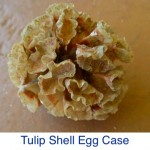 Tulip Shell Egg Case