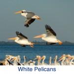 White Pelican ID