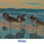 Willet Bird ID