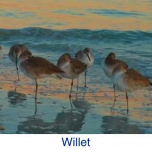 Willet Bird ID