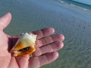 albino fighting conch aperture