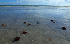 fighthing conch shells sanibel