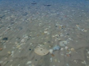 sand dollar in tidal pool