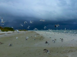 sandwich terns Sanibel lighthouse