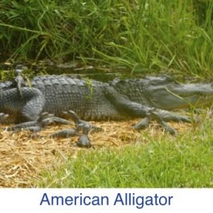American Alligator Sanibel ID
