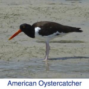 American Oystercatcher Florida