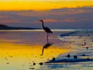 Great Blue Heron sunrise Sanibel