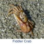 Fiddler Crab id