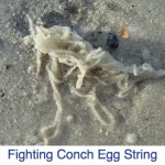 Fighting Conch Egg String