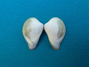 Pointed Venus Seashell