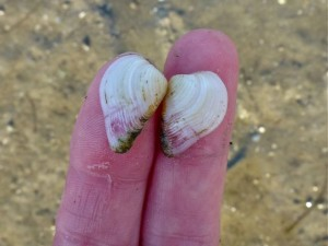 Pointed Venus seashell size