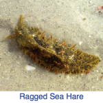 Ragged Sea Hare Identify