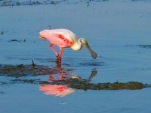 Roseate Spoonbil swingin head