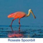 Roseate Spoonbill Bird ID
