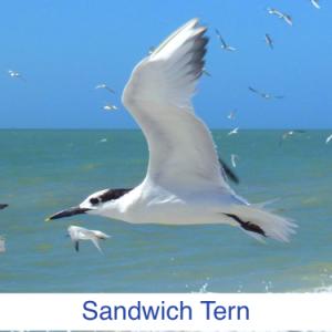 Sandwich Tern Identify