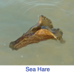 Sea Hare Identification