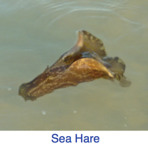 Sea Hare Identification