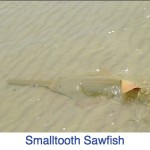 Smalltooth Sawfish Florida