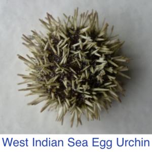 West Indian Sea Egg