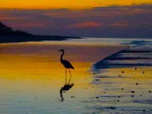 blue heron at sunrise Sanibel