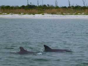 dolphins by our boat cayo costa
