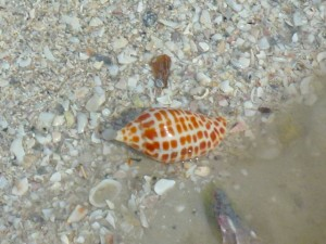 junonia close up
