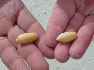 two golden olive seashells