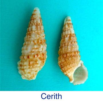 Cerith Seashell ID