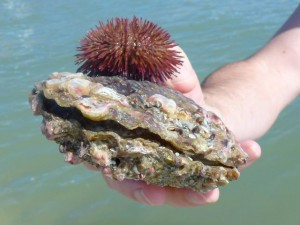 Live pen shell live purple sea urchin