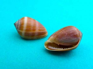 Melampus seashell both