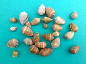 Melampus seashells