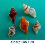 Sharp-Rib Drill Shell Identification