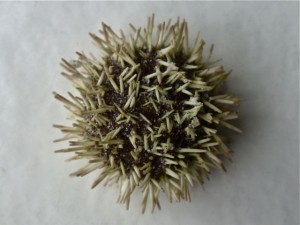 Tripneustes ventricosus sea egg
