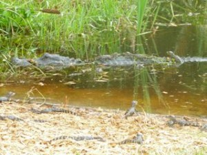 alligator babies 129 on mothers back