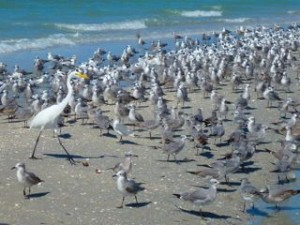 bunches of birds Captiva