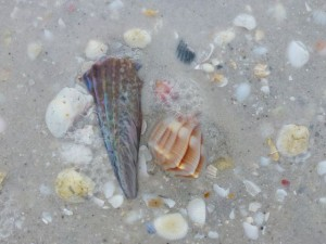 buried whelk sanibel lighthouse