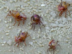 fiddler crabs bunche beach florida