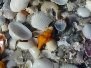 juvenile horse conch