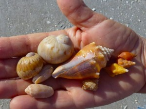 lynn seashells moons conchs