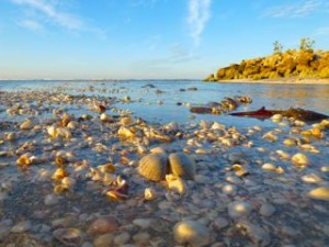shells in shallow water captiva