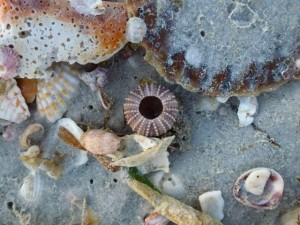 Sanibel Beach bling urchin