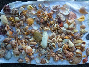 Tammy all different shells Sanibel